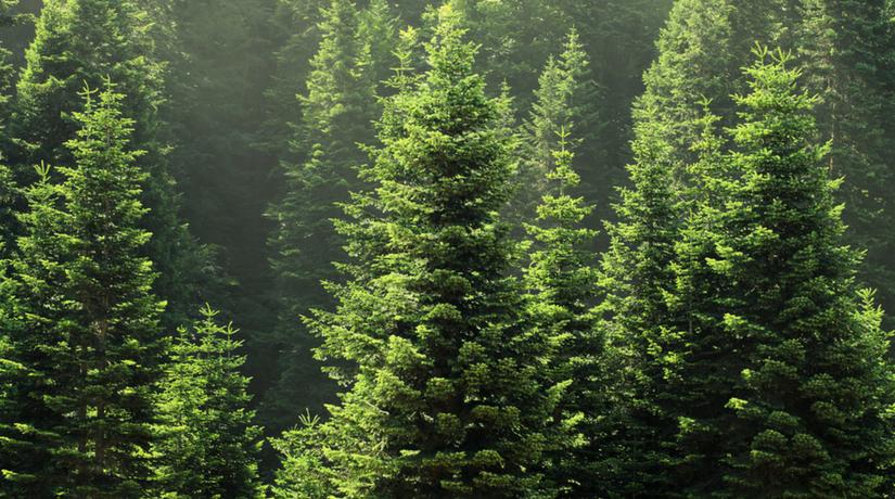 Gli evergreen non passano mai di moda fito for Gli alberi sempreverdi