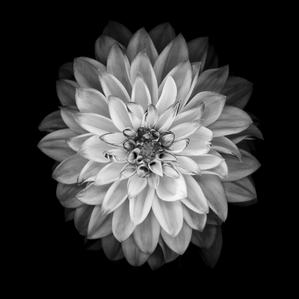 Black And White Flowers Wallpapers Hd: Bianco Come La Neve
