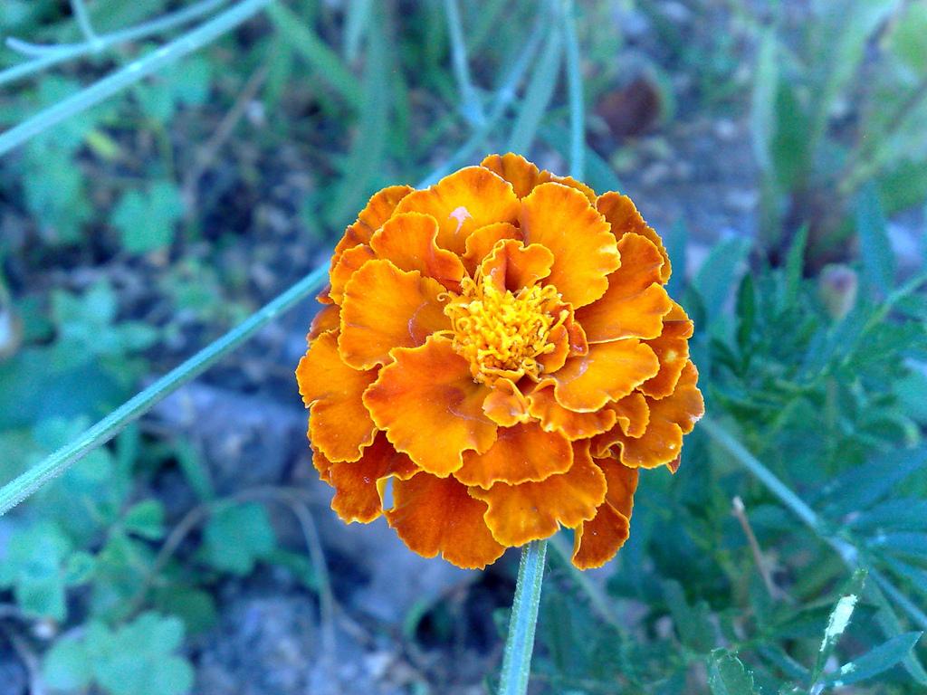Fiore di tagete arancione