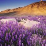 Sierra Nevada fiori viola