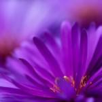 Fiore gerbera viola