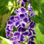 fiori viola febbraio