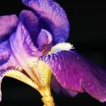 Fiore di iris viola