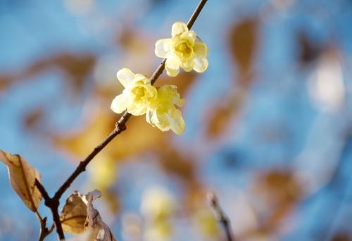 Calicanto fiore giallo di inverno