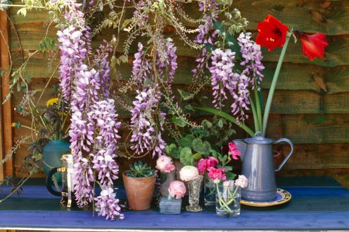 Glicine per il giardino, fiori viola e profumati
