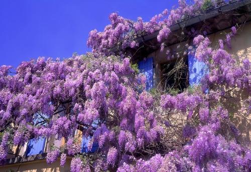 Il giardino dei profumi fito for Pianta ornamentale con fiori a grappolo profumatissimi