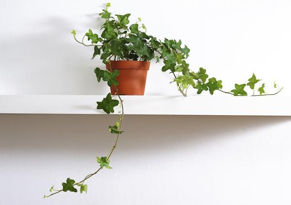 Le 15 piante da interno super resistenti prima parte fito - Edera da interno ...