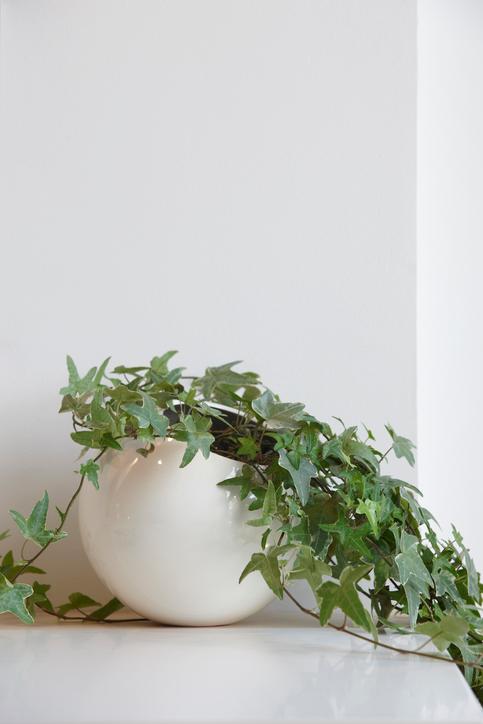 Edera in vaso, pianta da interno