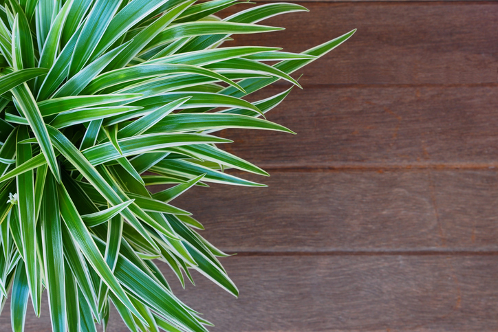 Le 15 piante da interno super-resistenti! Prima Parte | Fito