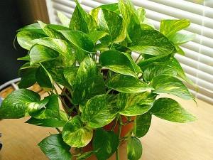 Piante da interno, piante da camera da letto: Pothos