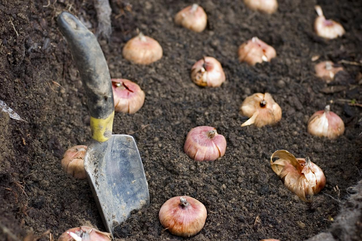 Посадка гладиолусов весной. Когда 46