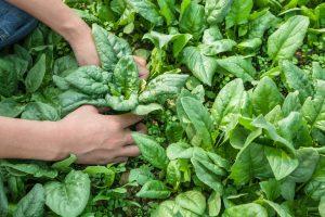 Raccolta spinaci