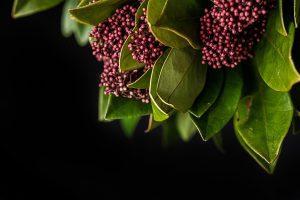 Skimmia pianta inverno