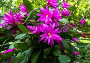 cactus di natale fiori