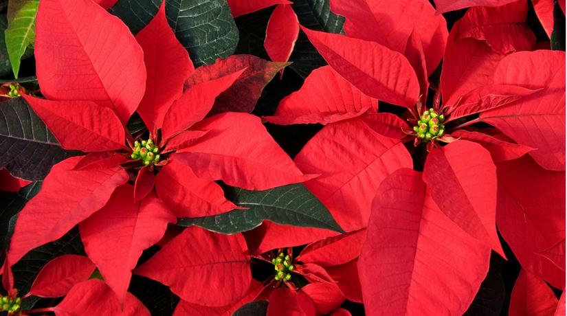 Foto Di Stelle Di Natale.Come Far Crescere Felice La Vostra Stella Di Natale Fito