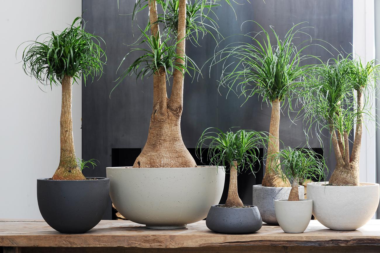 Della beaucarnea o della zampa d 39 elefante fito for Plantas de interior con poca luz