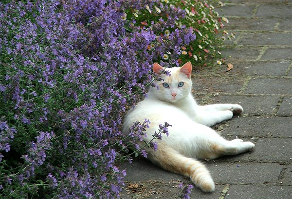 Nepeta fioritura gatti