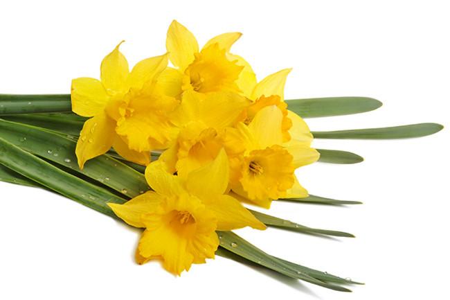 Jonquils-Narcissus