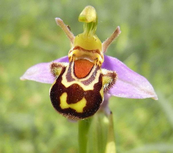 Ophrys bomybliflora - thefeaturedcreature.com