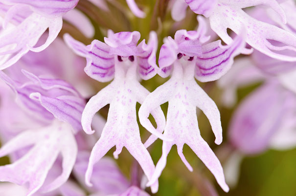 Orchis Italica - Ana Retamero