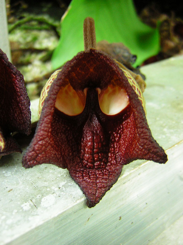Aristolochia Salvadorensis - mondocarnivoro.it