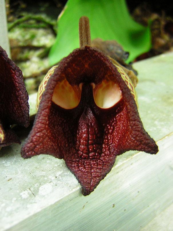 Aristolochia Salvadorensis - mondocarnivoro.it