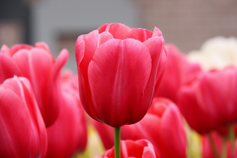 Bulbosa tulipani