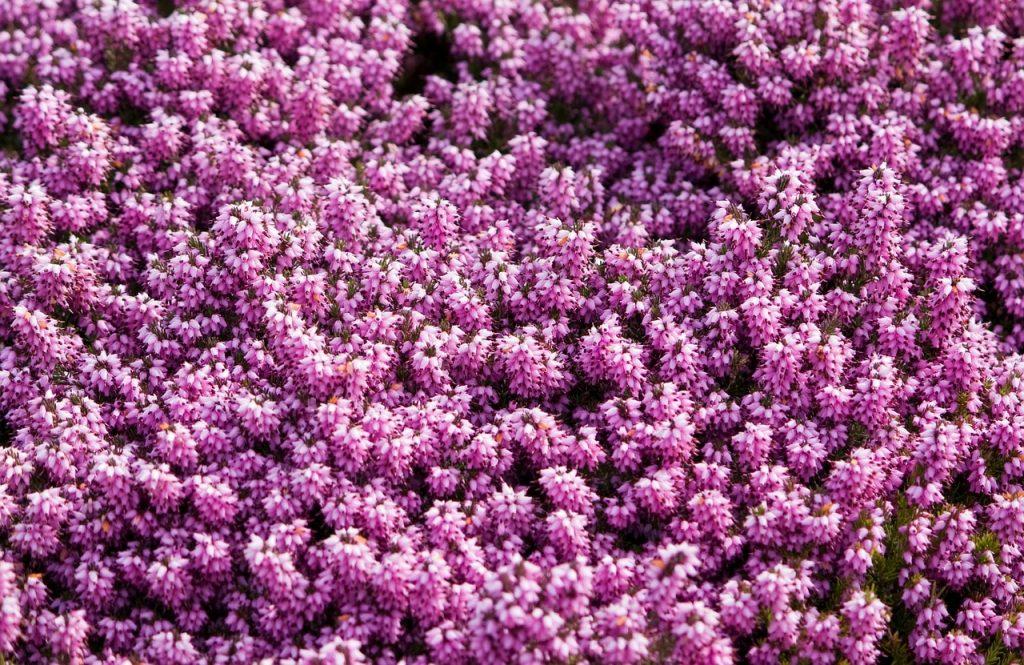 5 fiori per colorare il vostro balcone, d\'inverno | Fito