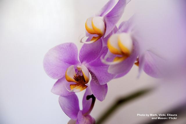 orchidea fiore cura