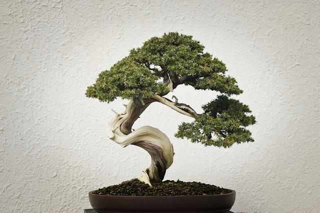 Albero bonsai pianta