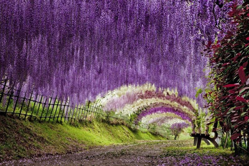 kawachi fuji garden kitakyushu japan wisteria