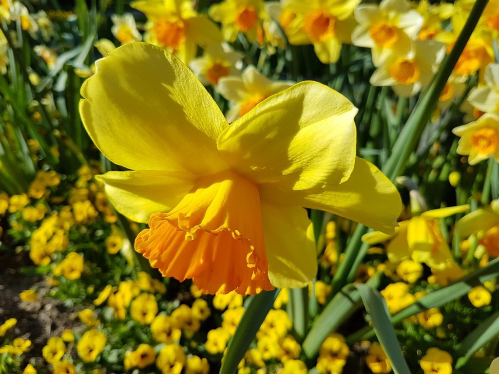 Agapanthus Foglie Gialle bulbose: come e quando, per splendide fioriture | fito