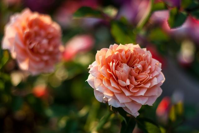 Rosa color salmone