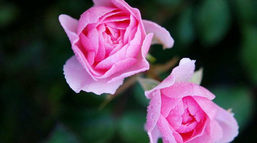 Come curare le piante di rosa fito for Donare un giardiniere