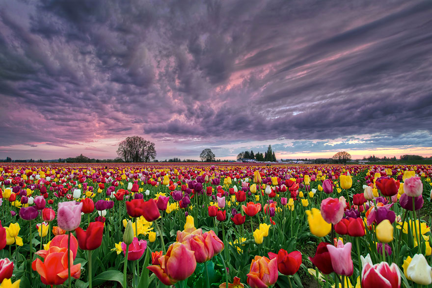 Campo di tulipani misti