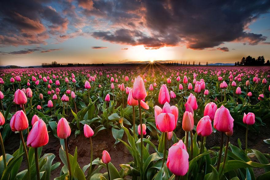 Spring Flowers Tulips Field Sunrise Grass Clouds: 10 Meravigliosi Campi Fioriti