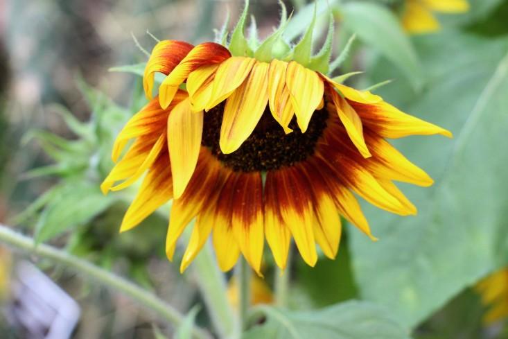 frida-kahlo-sunflower-nybg