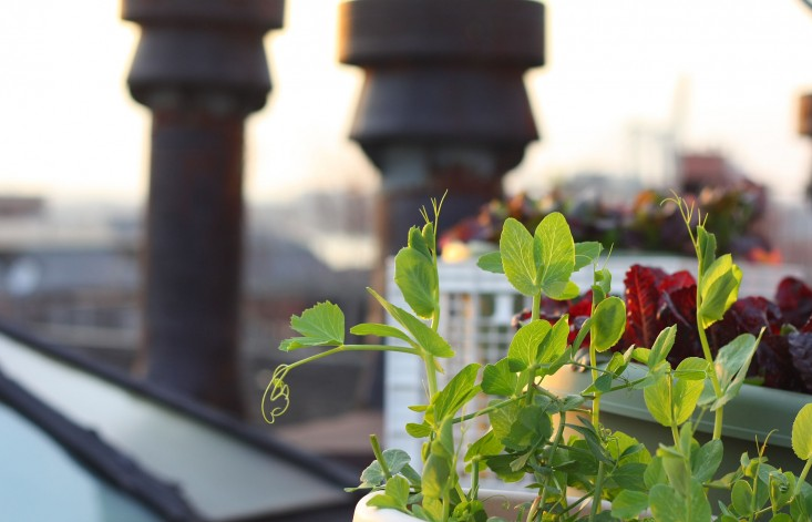 piselli balcone