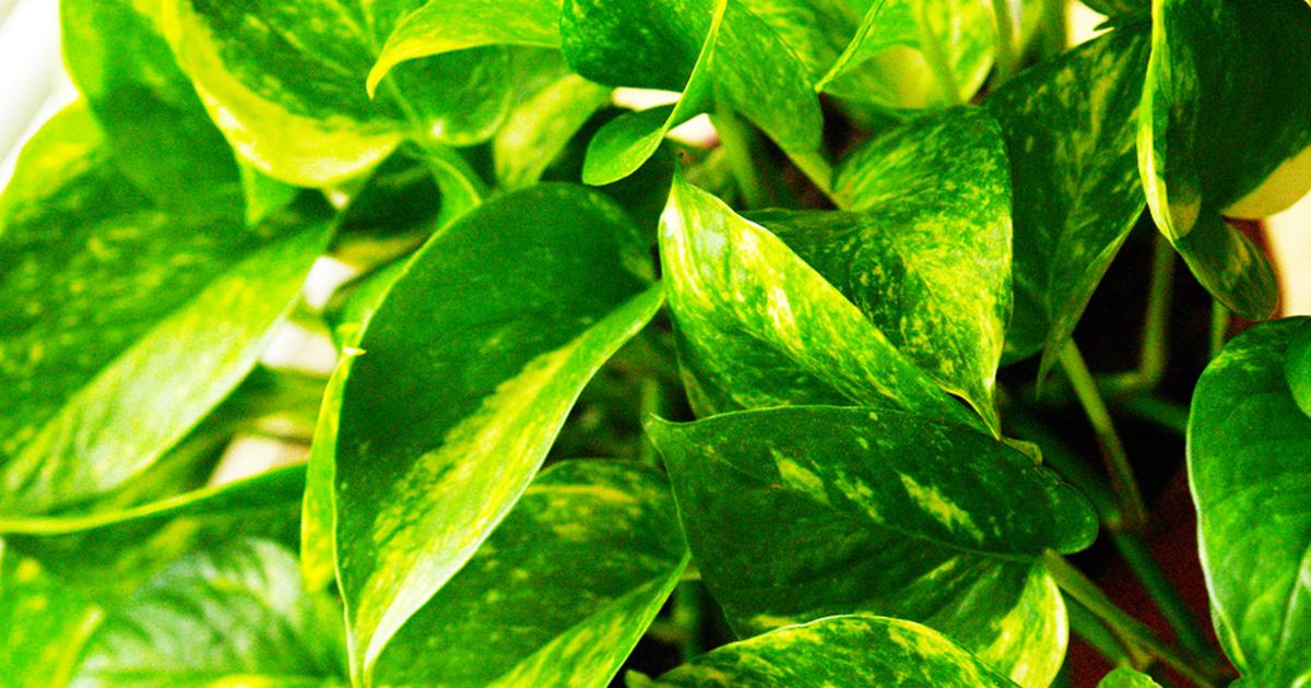 Pianta e foglie di potos