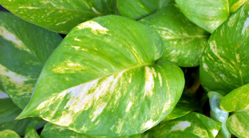 Impariamo a conoscere le piante sempreverdi come curare for Piante sempreverdi
