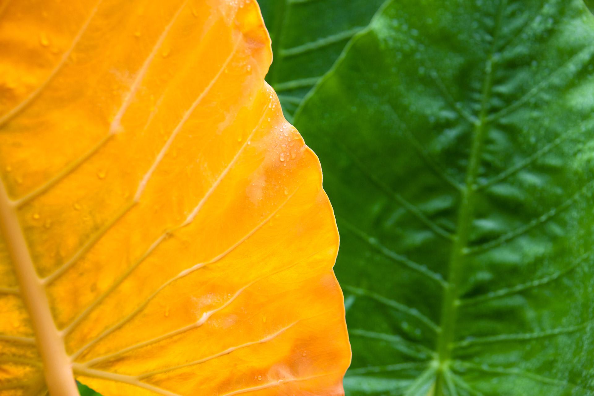 Perché le foglie della mia pianta diventano gialle