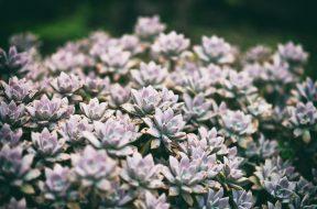 Fiori di piante succulente dette anche piante grasse