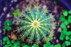 Cactacea, o cactus, la pianta grassa più comune