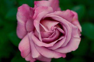 Fiori commestibili: rosa