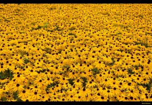 Rudbeckia, fiori gialli di prateria