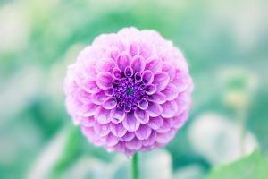 Flower of a dahlia, Morning dew and petal, Natural light