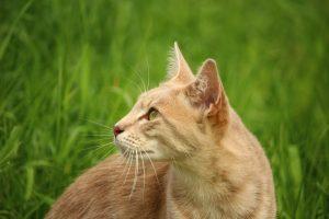 Il gatto per scacciare i topi dall'orto
