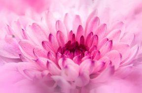 chrysanthemum, crisantemo