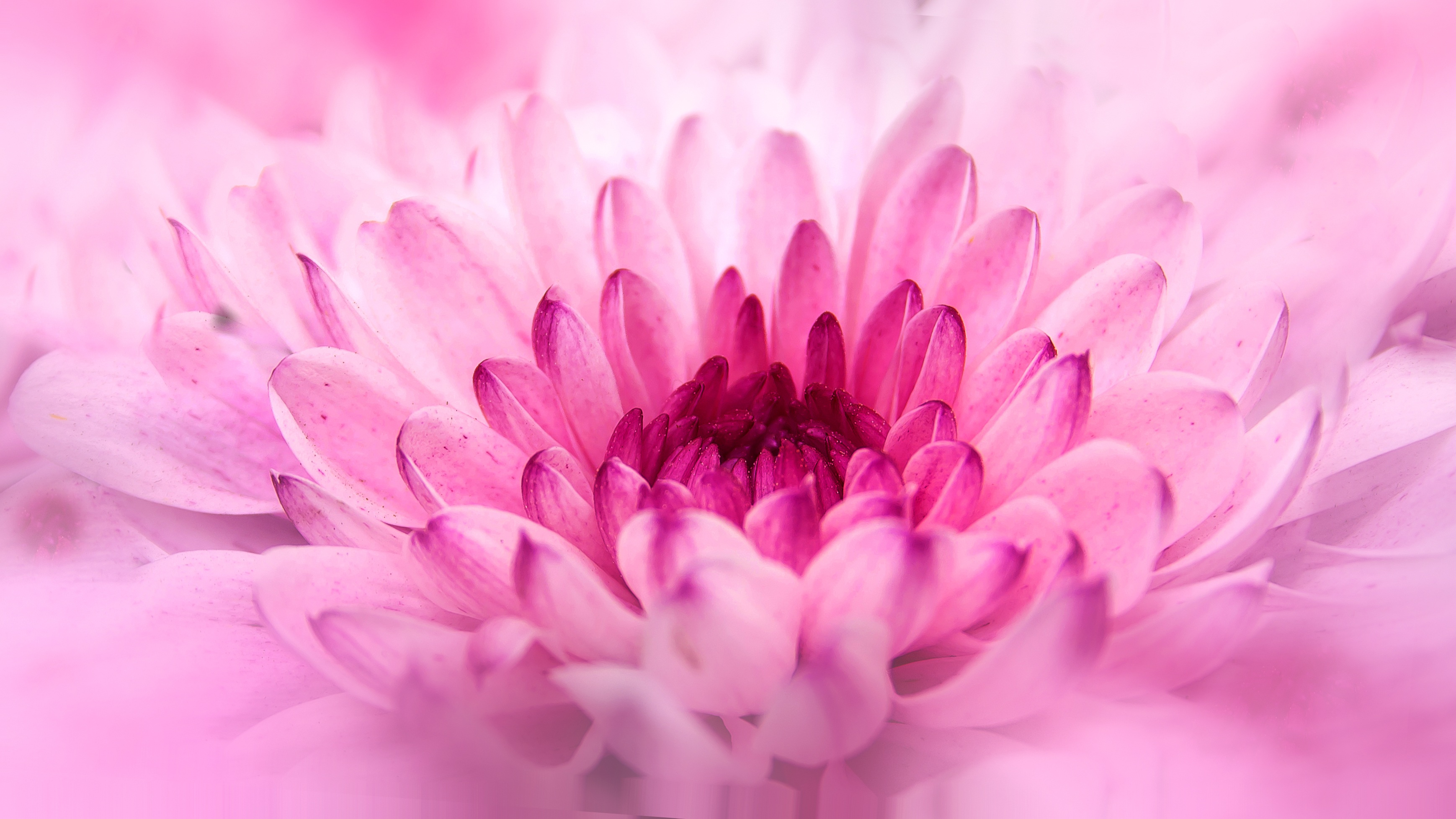 chrysanthemum, crisantemo