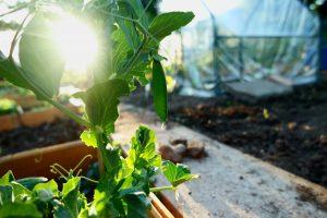 seminare i piselli, e la pianta di piselli